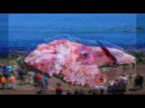 Giant Squid Goes Viral Is The Kraken Real Worlds Largest Animals