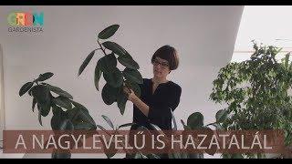 paraziták a ficus benjaminon)