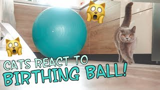 CATS REACT TO BIRTHING BALL!   CHRIS & EVE