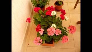 ГРЕЦИЯ, АФИНЫ. ФОТО ГАЛЕРЕЯ,, МОИ ЦВЕТЫ  НА БАЛКОНЕ''!(Фотогалерея мои цветы на балконе., 2014-06-19T19:07:55.000Z)