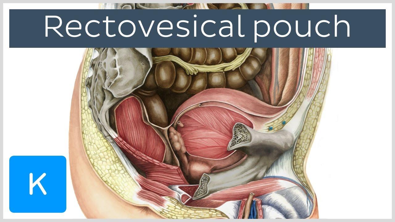 Rectovesical pouch (Excavatio rectovesicalis)- Human Anatomy ...