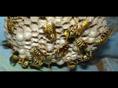 Как избавиться от ос! Простой способ борьбы с осами и шершнями! | избавление | избавиться | эффективн | мотильки | простой | муравьи | бабочки | шершни | борьби | борьба
