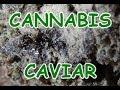 Making And Smoking Cannabis Caviar mp3