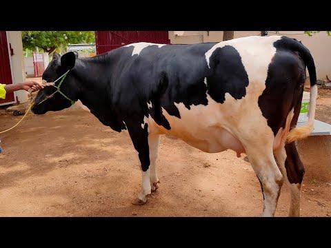 periyandavar cows farm supplier cows for kerala ,tamilnadu milk capacity 20  to 25litrs per day
