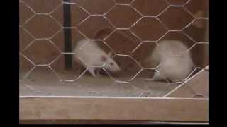 Diferences in Sexual Behavior Pattern (rats)