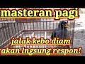 Pancingan Dn Masteran Jalak Kebo Pagi Hari  Mp3 - Mp4 Download
