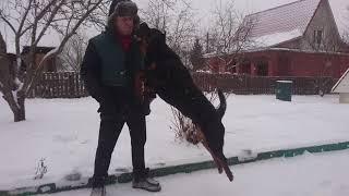 ДВА РОТВЕЙЛЕРА РАЗОБРАЛИ НОВОГОДНЮЮ ЕЛКУ.дрессировка и воспитание собаки