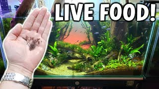 Feeding LIVE WIGGLY BUGS To Fish In My Aquarium