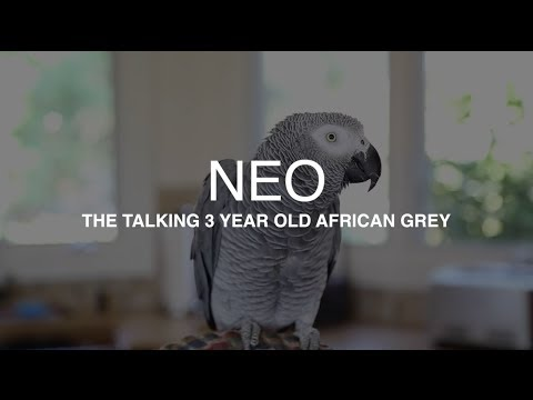"""Neo"" the African Grey talking up a storm – Best parrot talking video ever"