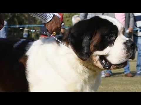 Saint Bernard Dog Show at New Delhi India