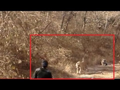 Tiger Chasing Warden in Ramthambore National Park India
