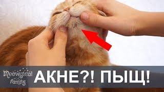 АКНЕ у кошки - черные точки на подбородке кошки