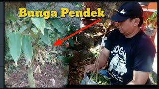 Cara sambung durian kaki ganda agar cepat berbunga