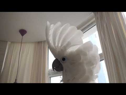 Cockatoo Zhu likes to fly