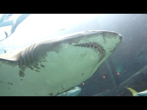 Shark Tank Dive at Two Oceans Aquarium [HD]