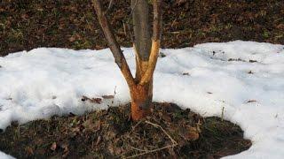 видео Яблоню обгрызли мыши: что делать садоводу?