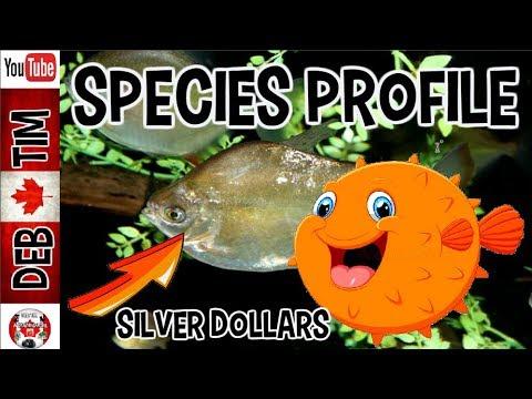 SPECIES PROFILE OF SILVER DOLLARS
