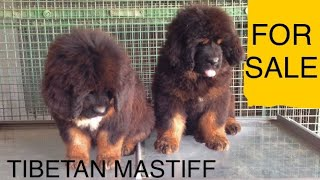 Lion head tibetan mastiff puppies for sale | +919417730301 | In india | HKKTM #tibetanmastiff