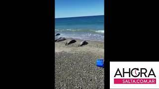 Video: Varamiento masivo de delfines en Madryn