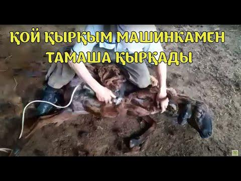 Қой Қырқым Машинкамен Тамаша Қырқады...