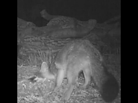 Foxes seem to disguise themselves as pumas to avoid predators