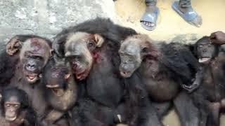 Chimpanzee family killed