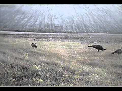 Broadcasting Live - Flock Of Turkey In Field Cam! - Whats In