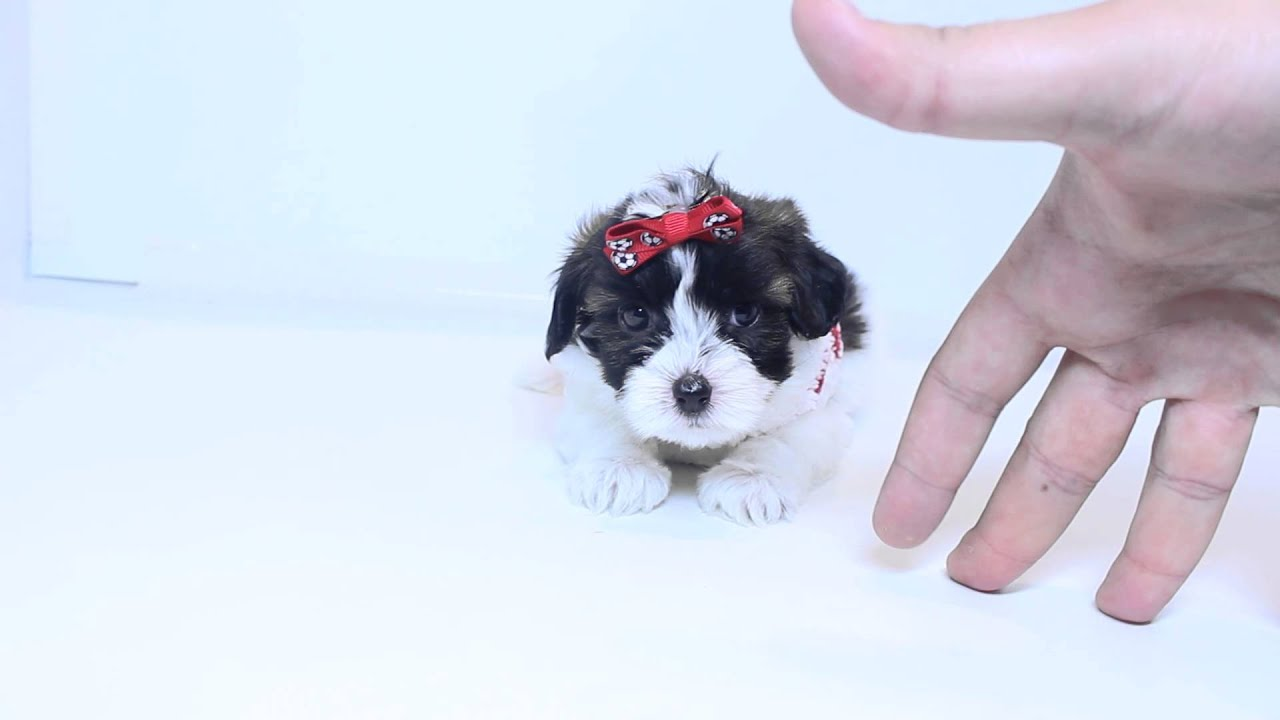 Precious Female Teacup Yorkie Poo Puppy