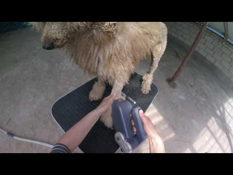 Brushing a very tangled poodle paw with the ADB