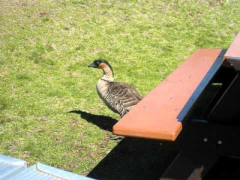 NENE Goose Haleakala