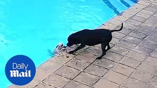 Incredible moment hero dog saves best friend from drowning in swimming pool