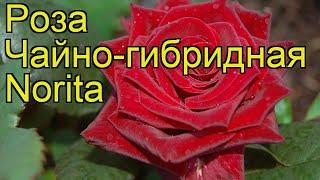 Роза чайно-гибридная Норита. Краткий обзор, описание характеристик, где купить саженцы