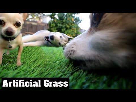 Turf War: Chihuahua Fights Husky Over Fake Grass | Gt Life Artificial Lawn For Dogs