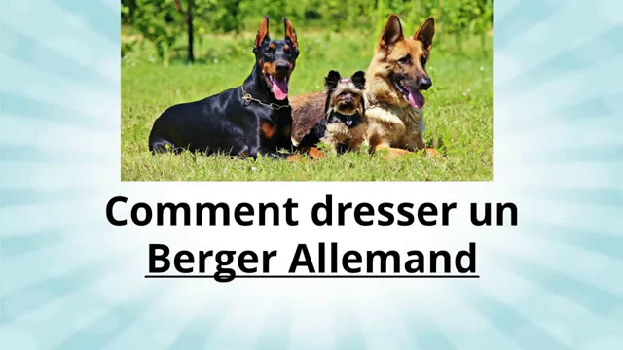Comment Dresser son Berger Allemand - Conseil dressage