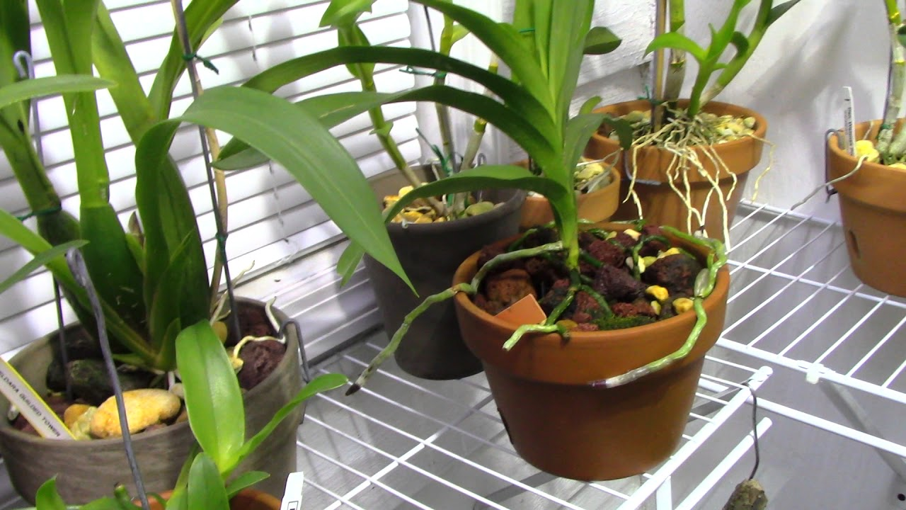 Orchids New Blooms And Fertilizer Info Youtube