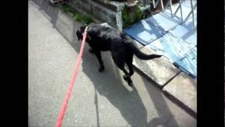 12歳ラブラドールレトリーバ黒(お散歩の様子)