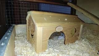 Дегу: гамак и гнездо. Больше видео на @domik_chipa