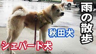 秋田犬元気に散歩します、そうすけ君苦手な雨も最近克服して 冷たい雨で...