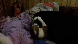 кошка загрызла ротвейлера (шутка)