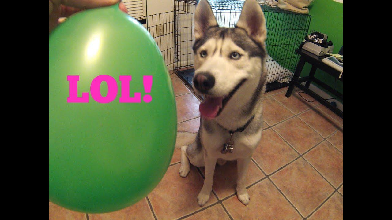 Husky And Balloons! (Q&A?)
