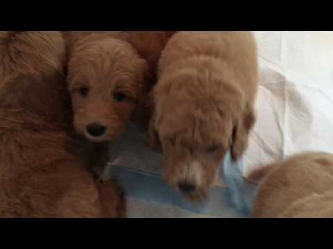 Lina/Paddington F1bb Red Medium Goldendoodle puppy picking vide 2 of 2.  After bath time.