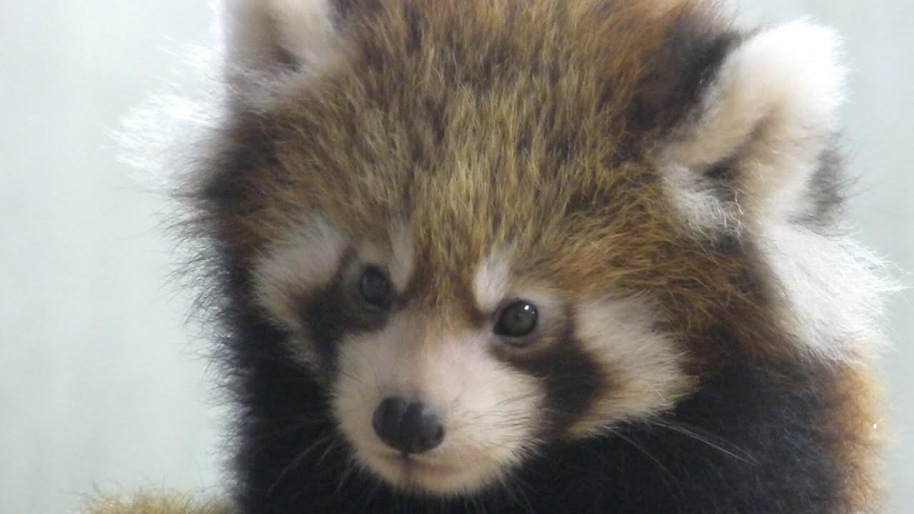 2015.12.13 Red Panda レッサーパンダ 赤ちゃん ヨチヨチ歩き 動くぬいぐるみ(日本平動物園)