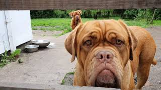 BBQ time with 11 dogs, Dogue de Bordeaux and French Bulldog
