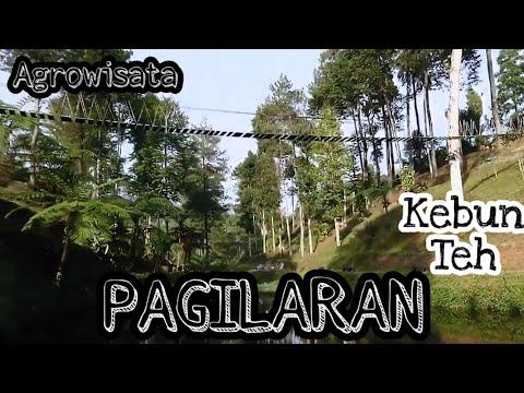 Agrowisata PAGILARAN Kebun Teh Wisata Kabupaten Batang Jawa Tengah