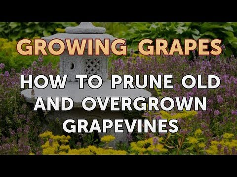 How To Prune Old And Overgrown Grapevines Youtube