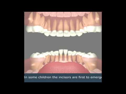 The process of growing baby teeth to adult teeth: Encino Dentist Office