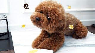 노즈워크 장난감 갖고놀다가 방향감각을 잃은 강아지