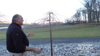How to Prune a Weeping Cherry