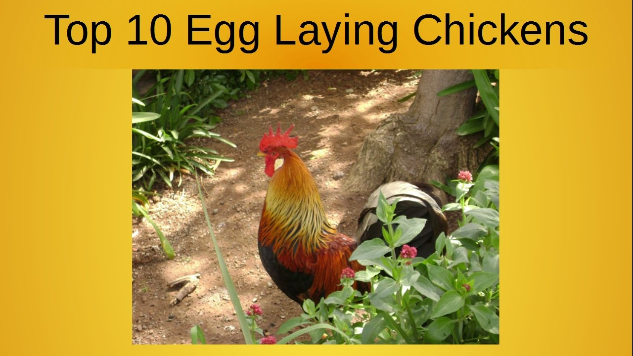 What Are The Best Backyard Egg Laying Chickens top 10 egg laying chickens - youtube