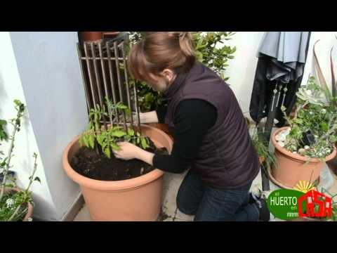 El huerto en casa 24 cultivando tomates